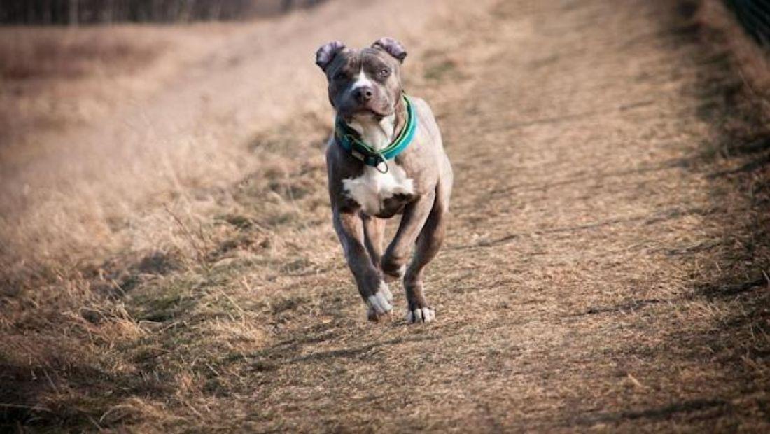 A Pitbull Dog mauls an 11-year boy in Jaipur